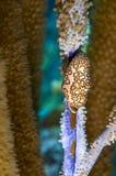 Flamingo tongue gastropod Stock Photos