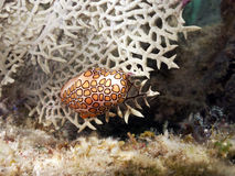 Flamingo Tongue mollusk Royalty Free Stock Photos