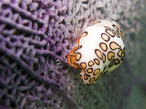 Flamingo Tongue Snail Stock Photo