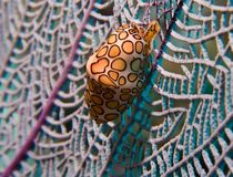 Flamingo Tongue Snail Cyphoma gibbosum. A flamingo tongue snail underwater on piece of a branch coral stock photography