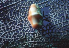 Flamingo Tongue Snail Royalty Free Stock Images