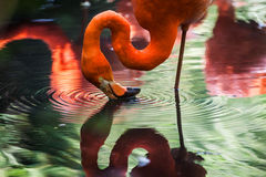 Flamingo touching water with beak Stock Photography