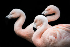 Flamingo Trio II Stock Photo