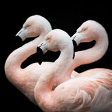 Flamingo Trio III Royalty Free Stock Photos