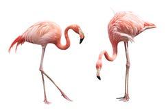 Flamingo två Arkivfoto