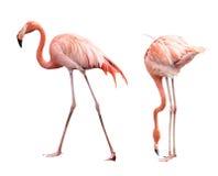 Flamingo två Royaltyfria Foton