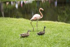 Flamingo und Enten Stockbilder