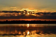 Flamingo vadar i salt vatten sjön av Larnaca Cypern på solnedgången royaltyfri bild