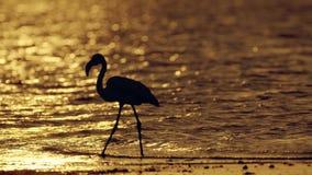Flamingo vadar i salt vatten sjön av Larnaca Cypern på solnedgången lager videofilmer