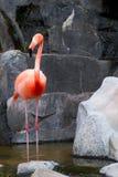 Flamingo vermelho Foto de Stock