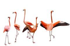 Flamingo vijf Royalty-vrije Stock Afbeeldingen