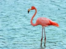 Flamingo visiting. Flamingo from Amador's Beach at Camuy, Puerto Rico Stock Photos