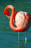 Flamingo-Vogel Stockbilder