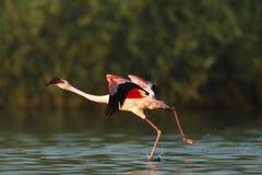 flamingo w mniejszym Fotografia Royalty Free