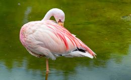 Flamingo a wading bird in the family Phoenicopteridae royalty free stock image