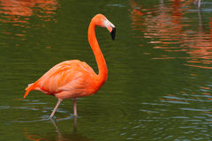Flamingo walking Royalty Free Stock Photography