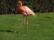 Flamingo is walking across a meadow.  Stock Photo