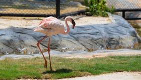 Flamingo walking Royalty Free Stock Photography