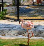 Flamingo walking Stock Photos