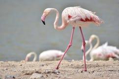 Flamingo walking on ground Royalty Free Stock Photo
