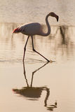 Flamingo walking Royalty Free Stock Image