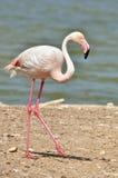 Flamingo walking near pond Royalty Free Stock Photo