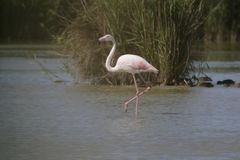 Flamingo walking in the water in a lake Stock Photo