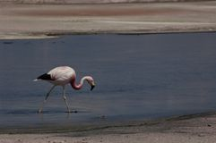 Flamingo walking the water in salar de atacama Royalty Free Stock Photo