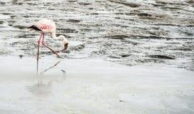 Flamingo Walvis fjärd, Namibia, Afrika arkivbild