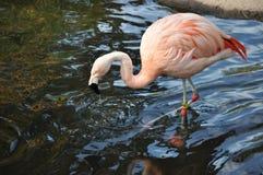 Flamingo in Wasser 3 stockbilder