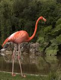 Flamingo By Water Stock Photo