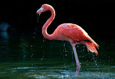Flamingo in the water stock images