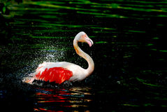 Flamingo in water royalty free stock images