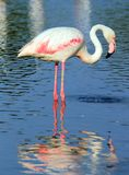 Flamingo in the water Stock Photos