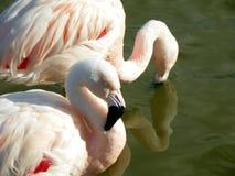 Flamingo in water Royalty-vrije Stock Afbeelding