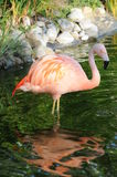 Flamingo In The Water Stock Photo