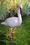 Flamingo In The Water Royalty Free Stock Photos