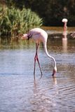 Flamingo in the water Royalty Free Stock Photo