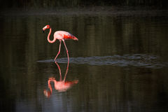 Flamingo in water in Cuba. Taken at Cayo Guillermo royalty free stock photography