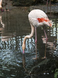 Flamingo in water Royalty Free Stock Image