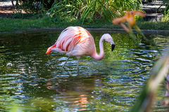 Flamingo in water Royalty Free Stock Photography