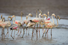 Flamingo in water South Africa royalty free stock image