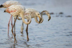 Flamingo in Water Stock Photos