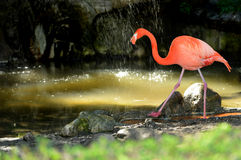 Flamingo in the waterfall Stock Photo