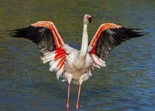 Flamingo. A flamingo waving its wings royalty free stock photo