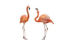 Flamingo. On a white background royalty free stock image