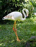Flamingo with white feathers Stock Photos