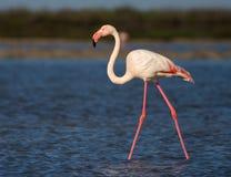 flamingo świetnie Fotografia Stock