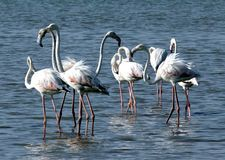 flamingo świetnie Obraz Stock