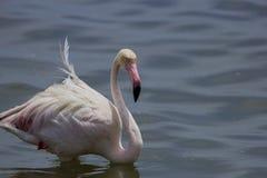 flamingo świetnie Obraz Royalty Free